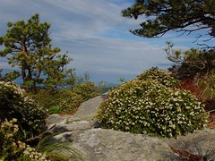 Sand Myrtle on Hawksbill Mountain, Linville Gorge Wilderness, North Carolina (netbros) Tags: weather heather north linville granite carolina gorge wilderness sandmyrtle hawksbillmountain netbros internetbrothers