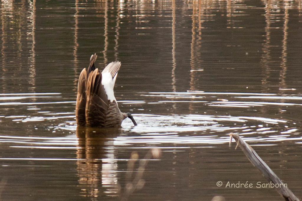 Canada Goose at the beaver bog-17.jpg