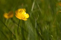 Boterbloem - Ranunculus (Waterjuffer1) Tags: flower buttercup ranunculus gras mei geel bloem boterbloem 2011 waterjuffer1