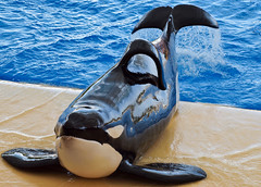 20100821_219 (Photo_Robson) Tags: holiday spain europe events places tenerife subject orca canaryislands loroparque