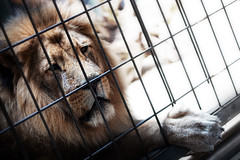Caged (TheFella) Tags: berlin male slr digital cat canon germany deutschland eos zoo photo paw bars europe lion cage bigcat photograph processing dslr mane zoologischergarten panthera postprocessing bundesrepublikdeutschland 500d berlinzoo pantheraleo felidae zoologischergartenberlin