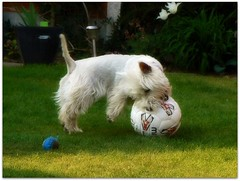 Abbi does love playing football (♥ Katie ann. Off more than on.) Tags: bestinshow petportraits dogexpressions theunforgettablepictures adorablecritters flickrspets goldstaraward photosofqualitytosmileabout alittlebeauty handselectedphotographs thebestshotsonly confidentialisthebest