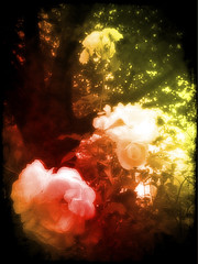 The Nice Bit of the Garden (Matt Brock ☀) Tags: roses colour tree scratches vignette camerabag iphone4 psexpress lomob iphoneography scratchcam