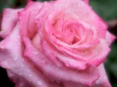 Pretty Pink Rain (love_child_kyoto) Tags: park pink summer flower macro nature rose garden spring kyoto gardening arashiyama  raindrops    1001nights waterdrops olympuspen  rosegarden    rainyseason       lavieenrose   randen   masterphotos    microfourthirds  flickraward 1001nightsmagiccity ringexcellence