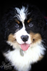 Flash Back! (Golden Moments Petography) Tags: bear boy baby male guy puppy 85mm dude bernesemountaindog berner br