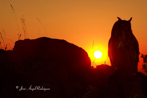 BUHO REAL EN LA PUESTA DE SOL / EAGLE OWL IN THE SUNSET