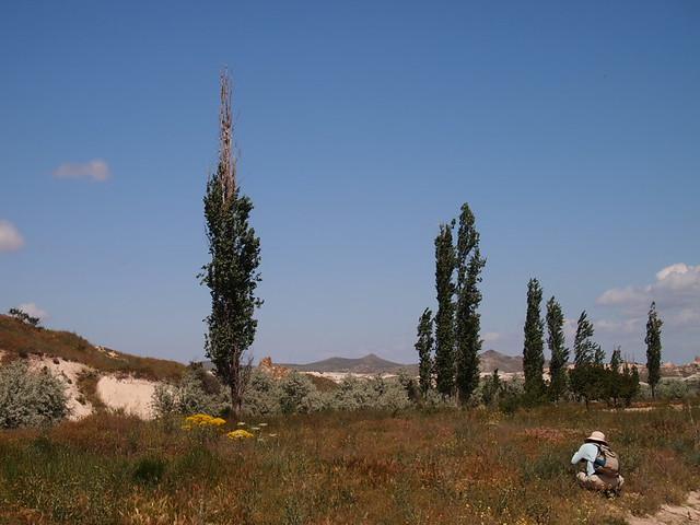 土耳其常可以看到這種外型瘦瘦高高的植物