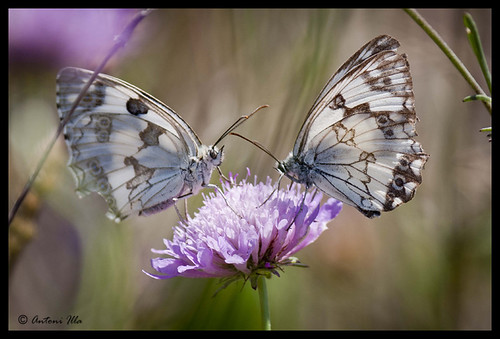 esta flor es mia by Antoni illa