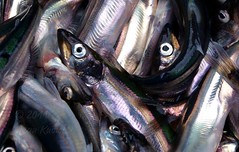 Caplin (Jean Knowles) Tags: fish beach newfoundland eyes scales arr spawning geotag shining rolling irridescent netted allrightsreserved trinitybay smelt dunfield caplin newfoundlandandlabrador capelin abigfave mallotusvillosus nottobeusedwithoutmypermission 2011jeanknowles
