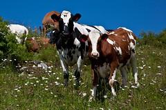 Kviger p beite (estenvik) Tags: norway landscape scenery cattle meadow pasture erik calf trondheim srtrndelag landskap heifer byneset beite beitemark blomstereng kulturlandskap storfe kvige stenvik estenvik hstad ungdyr hstadhaugen