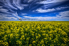 Canola Fields Forever HDR (Fresnatic) Tags: blue sky yellow clouds rural explore pacificnorthwest hdr canola lightroom couleecity rapeseed centralwashington canolafield photomatix canonrebelxsi fresnatic photoshopcs5