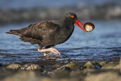 Clamcatcher? (Jeff Dyck) Tags: black oystercatcher blackoystercatcher haematopusbachmani clam qualicumbeach bc britishcolumbia shore wading birds jeffdyck