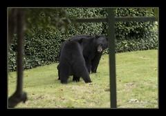 I had some visitors today (the_coprolite) Tags: bear coquitlam portcoquitlam bc britishcolumbia hoycreek canada nikon d750 sigma 150600mm