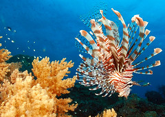 "Lionfish drift stalking the reef (in Explore) (gillybooze (David)) Tags: madaleundewaterimages lionfish underwater layanglayang malaysia southchinasea ""flickraward"" ""flickraward5"" sunkentreasureaward absolutelyperrrfect esenciadelanaturaleza mygearandme mygearandmepremium thegalaxay sea reef water coral"