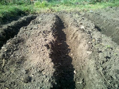 Potato trenches