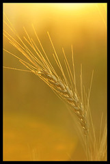Wheat crop..with sunny shades.. (girishsarda18) Tags: orange india macro wheat shades single crop flare maharashtra sunnyshades sigma70300 bhandardara d3000 girishsarda girsarda