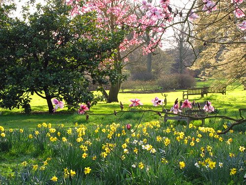 Magnolia Trees and Daffodils at Kew Gardens