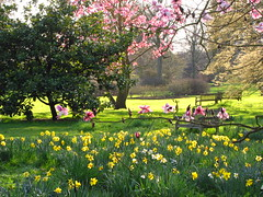 Magnolia Trees and Daffodils at Kew Gardens (Laura Nolte) Tags: flowers england kewgardens flower london garden spring daffodil magnolia botanicgarden daffodils westlondon royalbotanicgardens