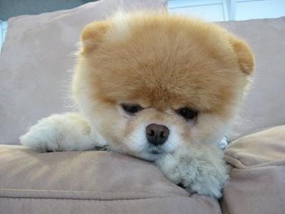 boo_Pomeranian_Dog_42