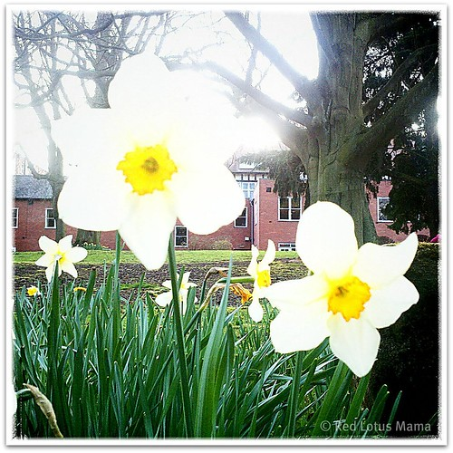 Daffodils in England #UK2011trip