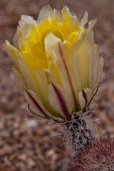 Yellow Hedgehog Bloom