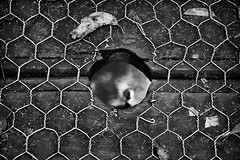 peephole (Matt Hovey) Tags: wood blackandwhite white black water digital canon photography eos photo wire hole image photos lightroom dandenongranges fenceing 1000d matthovey matthewhovey