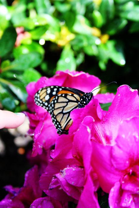 monarch azalea