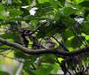 Rufous-tailed Jungle-flycatcher (Rhinomyias ruficauda) (Bram Demeulemeester - Birdguiding Philippines) Tags: philippines bohol rajahsikatuna flycatchers bramdemeulemeester rhinomyiasruficauda rufoustailedjungleflycatcher birdguidingphilippines philippinesbirdingtours