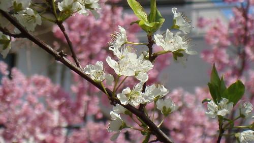 2011/04 平野神社 #05
