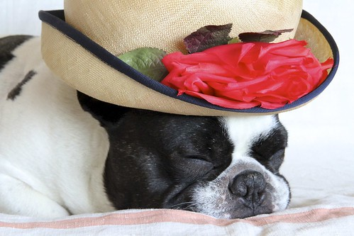 French Bulldog Chikuwa in deep sleep