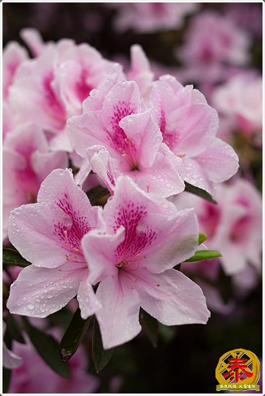 2011-03-26-台大杜鵑花