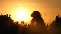 Gelada in the Sunset (Solimar International) Tags: community conservation area guassa
