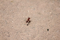 red ant (bytecoder) Tags: ant