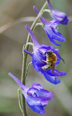 Eucera sp. bee (Long-Horn Bee) on Delphinium Sp.