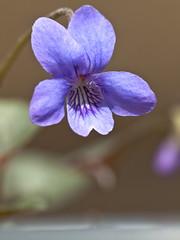 4月のお庭〜Viola mandshurica〜