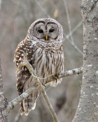 "Barred Owl ~ Up Close (Christine Fusco ~ ""Jersey Strong"") Tags: bird nature nj owl barred barredowl"