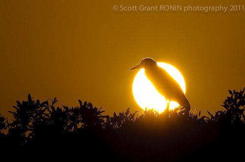 Black Crowned Night Heron Eclipse by Scott Grant