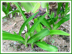 Crinum asiaticum (Giant/Grand Crinum Lily, Poison Bulb) produces numerous offsets easily