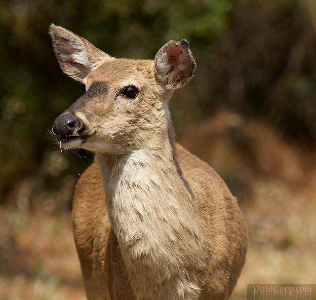 Bodie Island Deer
