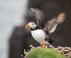 Puffin (Chee Seong) Tags: uk cliff bird rock canon island coast scotland wildlife wing beak atlantic forth puffin seabird firth extender plumage pelagic isleofmay fratercula canon70200f28is 14x stocky 5dm2