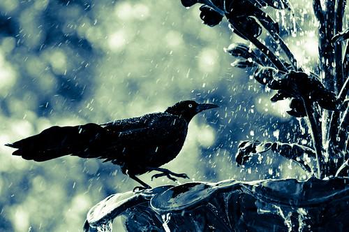 [フリー画像] 動物, 鳥類, カラス, 201104181300