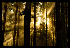 Filtered (AlpineEdge) Tags: wood morning trees light sun mist fog sunrise am ray bright branches logs sunny shades evergreen treetrunk cedar condensation sunrays spruce throughthetrees shiningthrough alder douglasfir lettherebelight forestfiltered