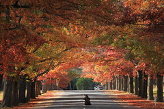 Autumn scenery (kth517) Tags: autumn australia victoria autumncolours pinoak   macedon  honouravenue bestofautumn