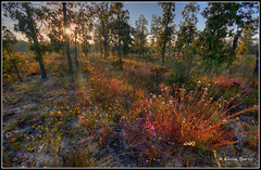 The Nature Conservancy - Protecting Special Places (Kevin B Photo) Tags: morning autumn trees light wild sky usa sun sunlight plant color tree green fall nature beautiful beauty grass horizontal closeup america forest sunrise landscape photography sand colorful day exterior unitedstates natural florida native south sandy scenic dramatic calm southern daytime grasses fl wildflowers sandhill serenitynow kevinbarry thenatureconservancy turkeyoak wowiekazowie colourlicious autumnwildflowers protectingnaturepreservinglife apalachicolabluffsandravinespreserve