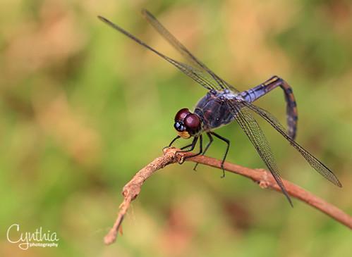 Acrobatic Dragonfly