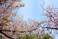2011 Cherry Blossom Viewing in Japan-Mint.OSAKA #2 (reo.matsumura) Tags: flower japan landscape spring sony osaka cz carlzeiss japanesecherry japanmint dslra350 sal2470z 350 variosonnart2470mmf28za