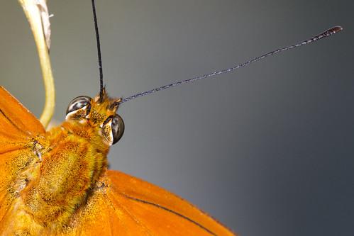 Julia Butterfly (Dryas iulia) 1