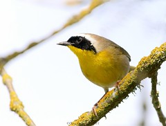 Common Yellowthroat (Garebear400) Tags: wild bird nature wildlife common nwr yellowthroat ridgefield coth coth5