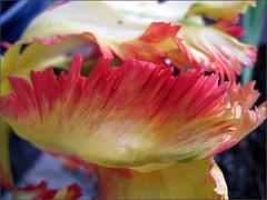 Tulip ridges