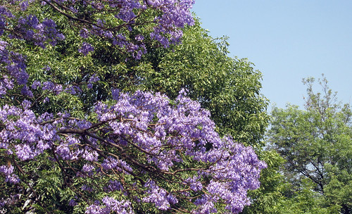 "Jacarandas 13 • <a style=""font-size:0.8em;"" href=""http://www.flickr.com/photos/30735181@N00/5645459492/"" target=""_blank"">View on Flickr</a>"